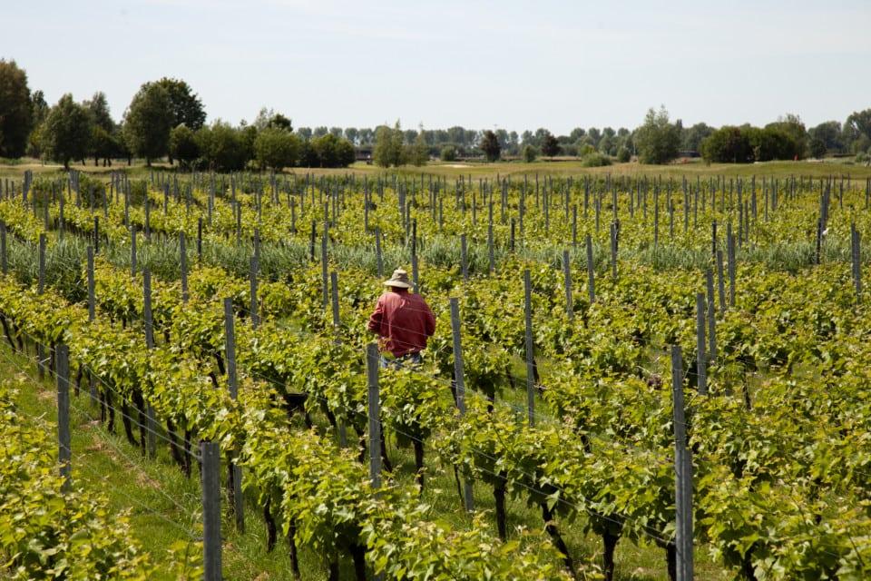 Wijngaard met hoeddragende man in 't midden